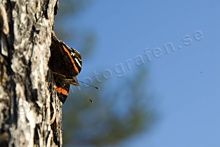 amiral, Amiralfjäril, animals, butterflies, butterfly, insect, insects