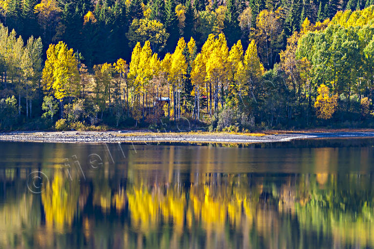 autumn, autumn colours, autumn leaves, beach, Jamtland, lake, landscapes, seasons, spegelbild, tree, woodland, yellow