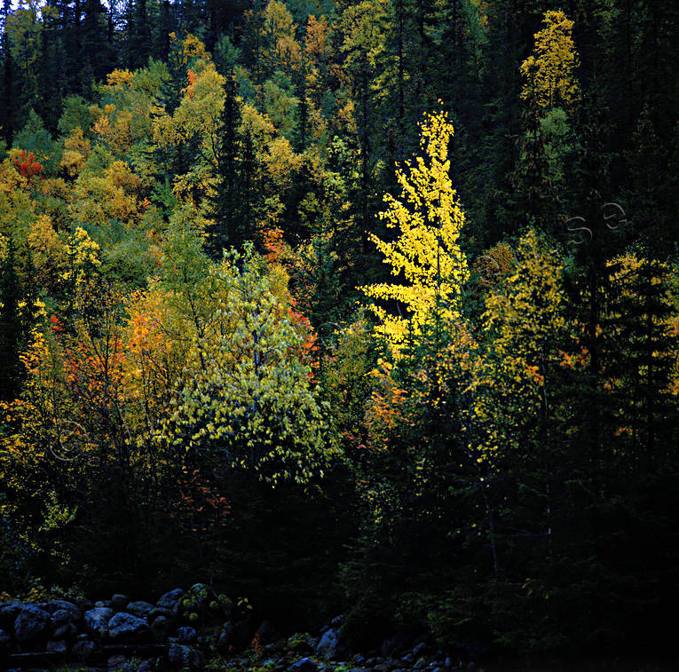 ambience, ambience pictures, aspen tree, atmosphere, autumn, autumn colours, season, seasons, tree, woodland, yellow