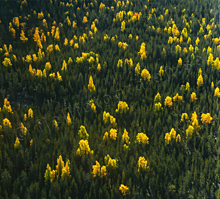 aerial photo, aerial photo, aerial photos, aerial photos, ambience, ambience pictures, atmosphere, autumn, autumn color, autumn colours, biotope, biotopes, birches, canvastavla, drone aerial, drönarfoto, Fototavla, nature, season, seasons, softwood forest, spruce forest, tavla, woodland