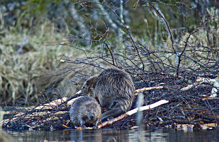 animals, beaver, beaver hut, beavers, gnawer, hut, mammals