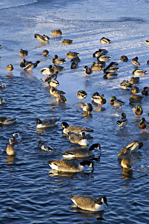 ambience, ambience pictures, animals, atmosphere, Badhusparken, birds, cold, cold, ducks, geese, hibernate, hibernate(s), hibernation, mid-winter, Ostersund, winter, winter ambience
