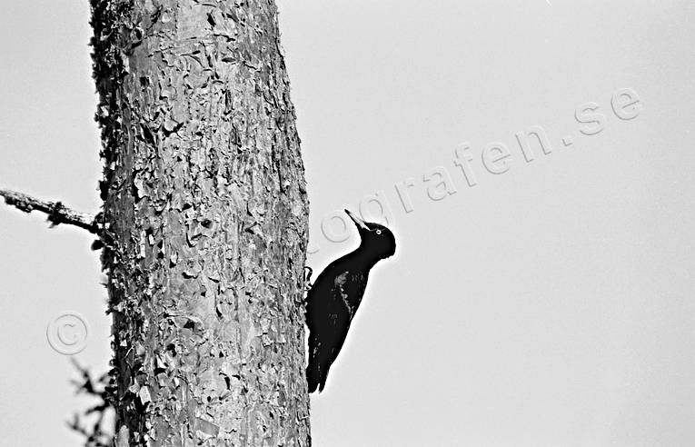 animals, bird, birds, black woodpecker, black-and-white, piciformes, pine, woodpecker, woodpeckers