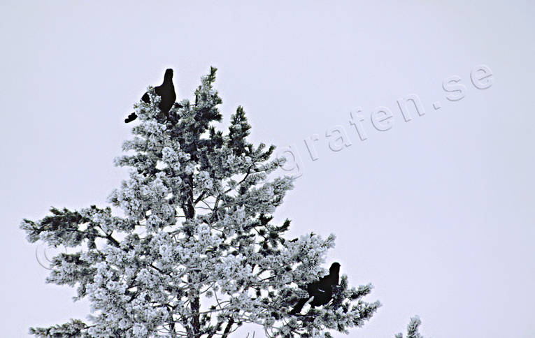 animals, birds, black grouse, black grouses, blackcocks, cocks, forest bird, forest poultry, pine, pine tree top
