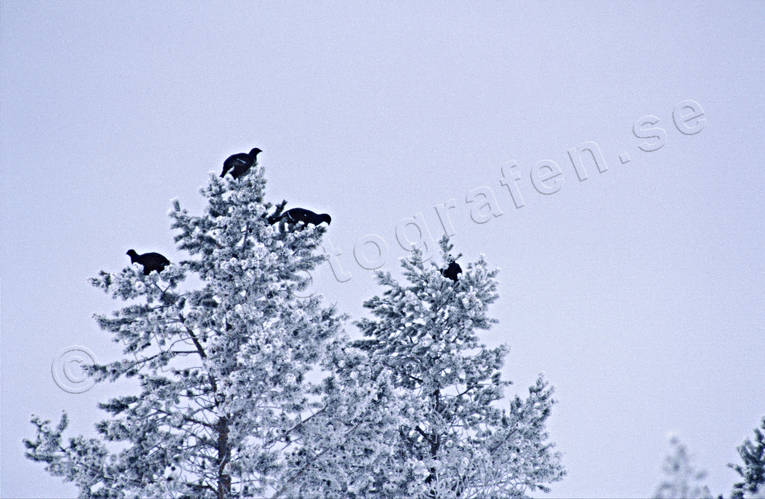 animals, birds, black grouse, black grouses, blackcocks, cocks, forest bird, forest poultry, heavy snow buildup, hoarfrost, pine tree top, top, treetop birds, winter