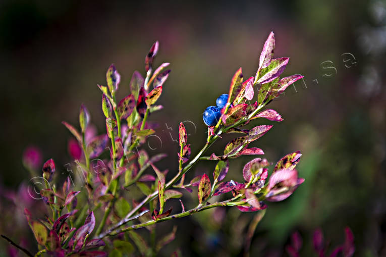 autumn, blue berries, blue berry brushwood, nature, plants, herbs, seasons, woodland