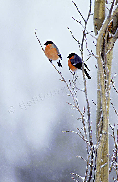 ambience, ambience pictures, animals, atmosphere, birds, bullfinch, bullfinches, christmas, christmas ambience, christmas card, christmas pictures image, little bird, passeriform, passeriformes, small birds, snow, såglar, winter