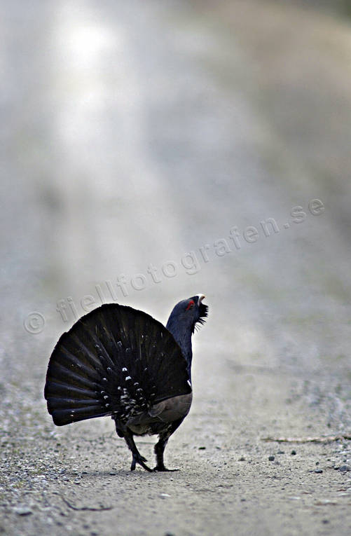 animals, bird, birds, capercaillie, capercaillie cock, capercailzie, forest bird, forest poultry, game, playing cocks, plays, road