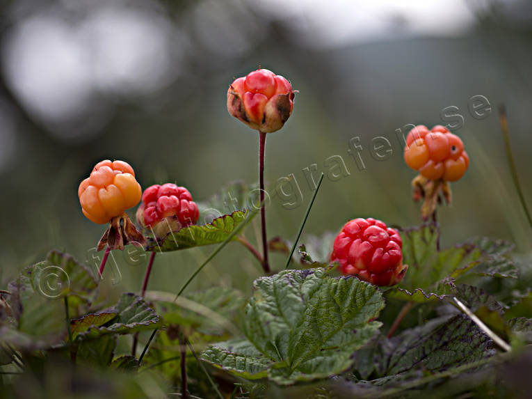berries, biotope, biotopes, bog soil, cloudberry, cloudberry bog, mire, mountain, mountain marsh, alpine marsh, mountains, nature, red, red, ripe