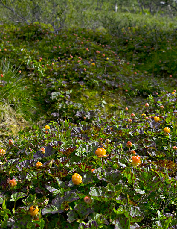 berries, berry picking, biotope, biotopes, bog soil, cloudberry, cloudberry, cloudberry picking, mire, mountain, nature, pick, summer, wild-life, äventyr