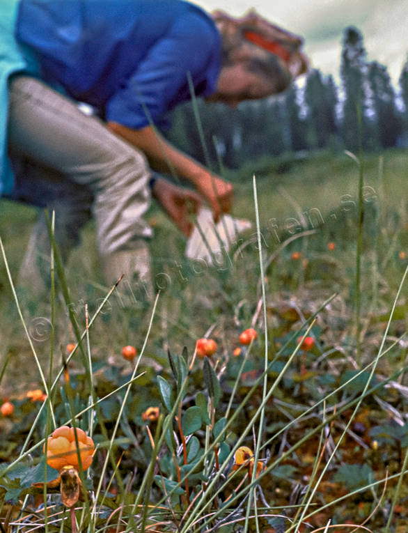 berries, berry picking, biotope, biotopes, bog soil, cloudberry, cloudberry, cloudberry picking, girl, marshes, mires, quags, mire, nature, summer, wild-life, äventyr
