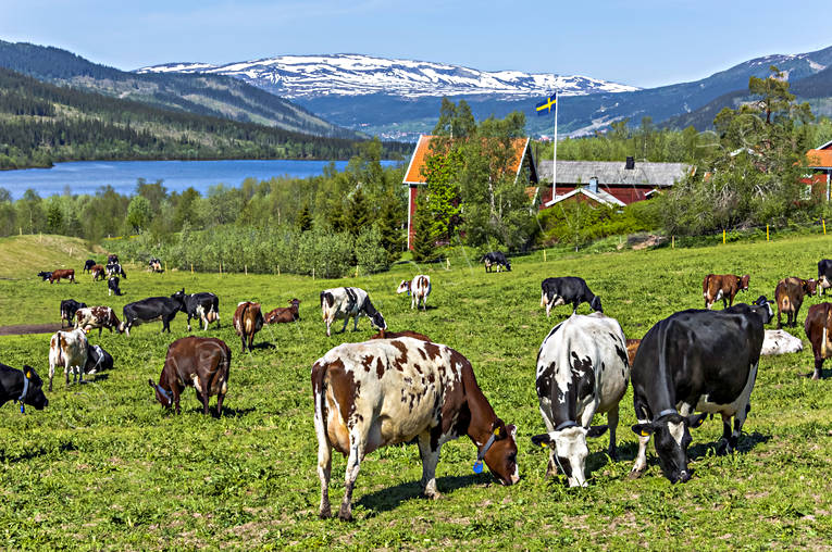 agriculture, alpine cows, animals, be in country, cows, cows, early, farmin, Jamtland, kosläpp, landscapes, mammals, mountain, pets, summer, work