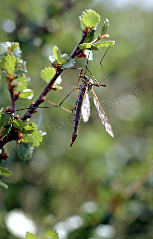 animals, birch, birches, daddy longlegs, crane fly, dwarf birch, low birch, ground birch, insects