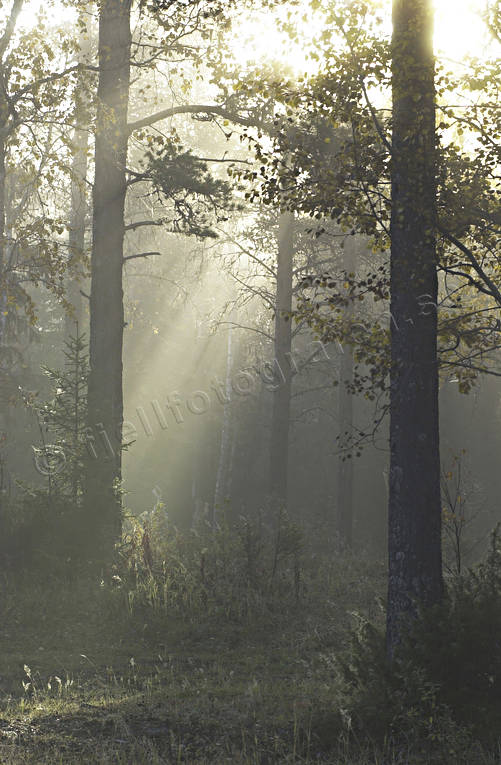 ambience, ambience pictures, atmosphere, autumn, big forest, elfin, fairies, fog, morning, morning mist, season, seasons, trolskt, woodland