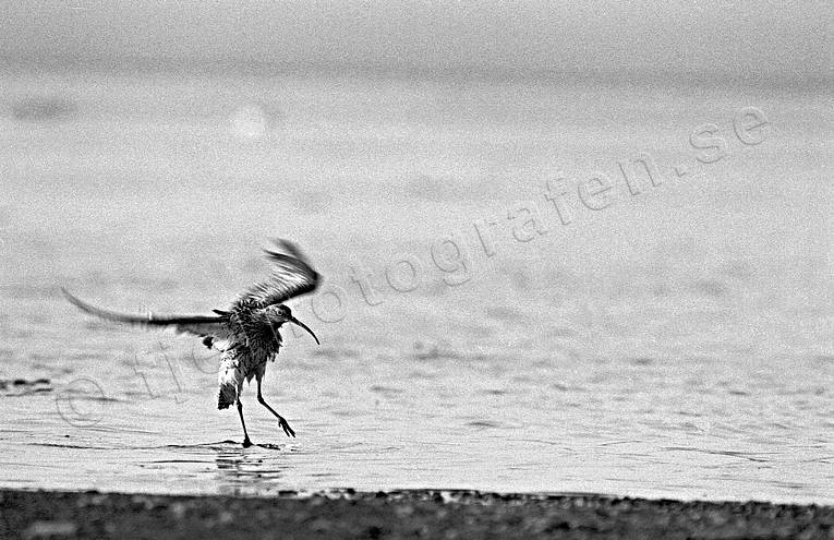 animals, beach, birds, eurasian curlew, touch down, touch down, wading birds