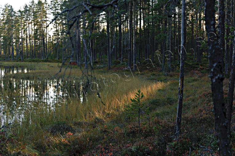 autumn, backlight, biotope, biotopes, evening, evening light, forest land, forest tarn, forests, nature, pine trunks, season, seasons, tree, woodland