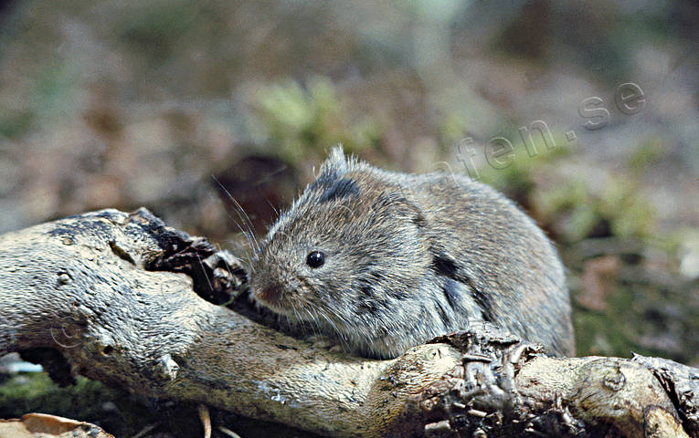 animals, field mouse, gnawer, mammals, rodents, vole