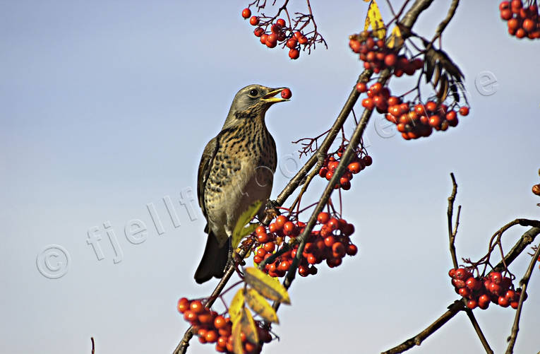 animals, berries, bird, birds, fieldfare, screenchbird, little bird, mountain-ash, sorb, sap tree, passeriform, passeriformes, rowan, small birds, såglar, thrush, thrushes