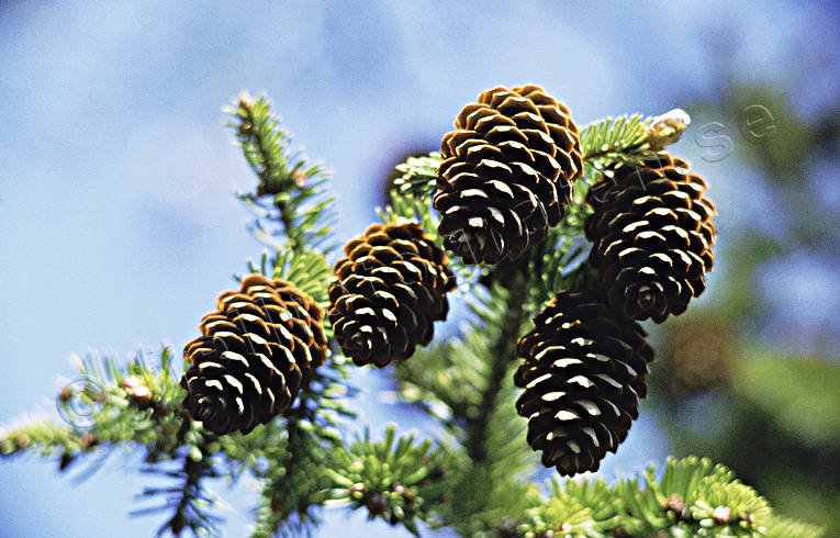 abies, biotope, biotopes, cones, fir-cones, forest land, forests, nature, tree, woodland