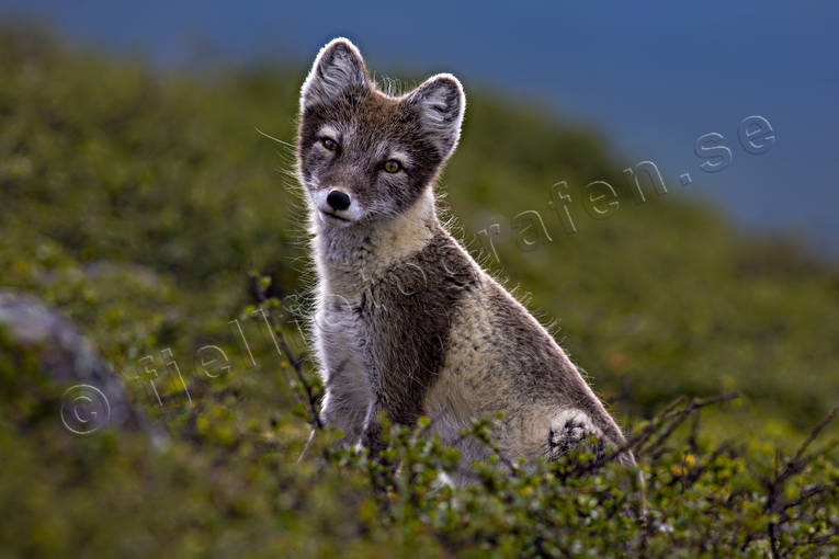 animals, arctic fox, den, fox, fox's den, mammals, mountain, mountain nature, mountains