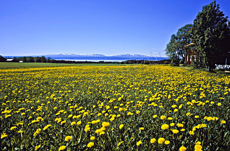 canvastavla, dandelion, dandelion meadow, dandelions, early, florification, Fototavla, Great Lake, Jamtland, landscapes, Oviksfjallen, Rodon, season, seasons, summer, tavla