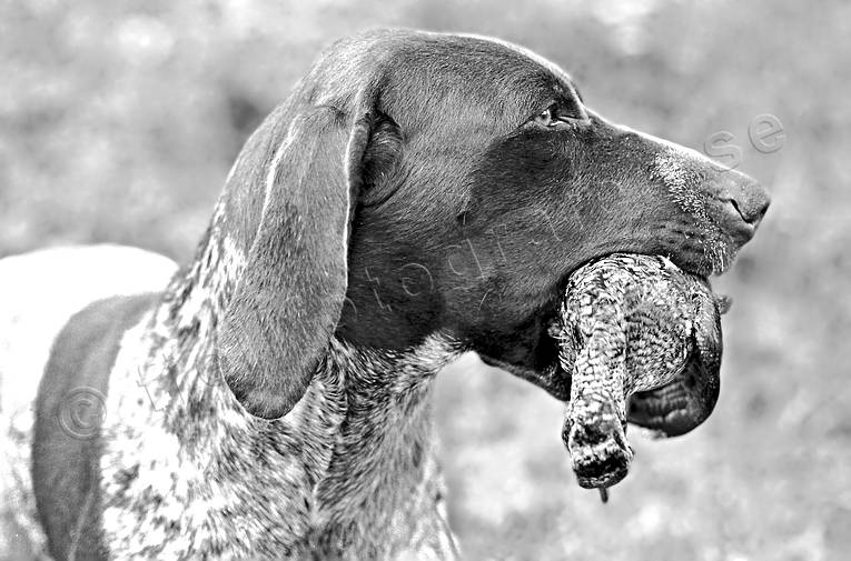 apport, german shorthaired pointer, hunting, woodcock, woodcock hunting