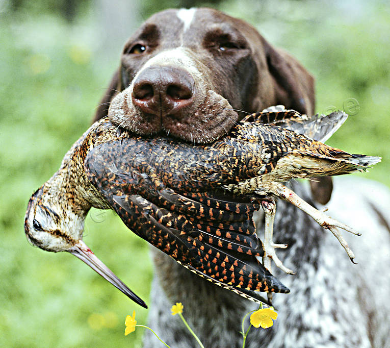 apport, apport, bird hunting, german shorthaired pointer, hunting, woodcock, woodcock hunting