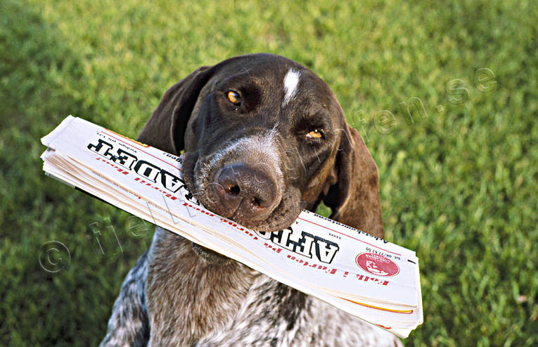 animals, apport, apport, berries, bird dog, carry, dog, dogs, german shorthaired pointer, hunting dog, magazine, mammals