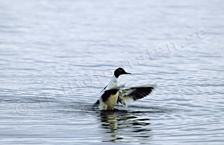 animals, bird, birds, ducks, goosander, goosander, sea bird, wings