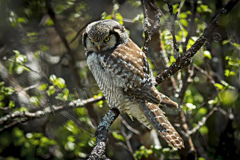animals, bird, birds, hawk owl, northern hawk owl, Northern Hawk Owl, owl, owls, Surnia ulula