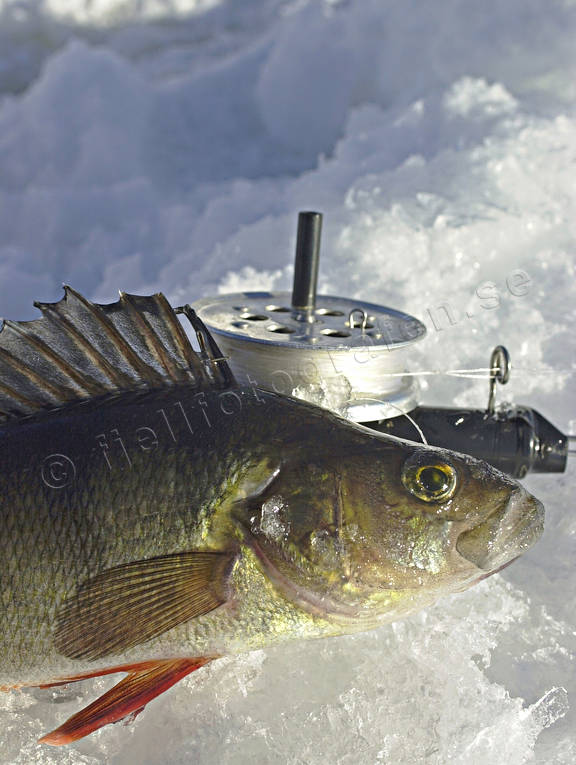 angling, fishing, fishing through ice, ice fishing, ice fishing, perch, perch fishing, winter fishing
