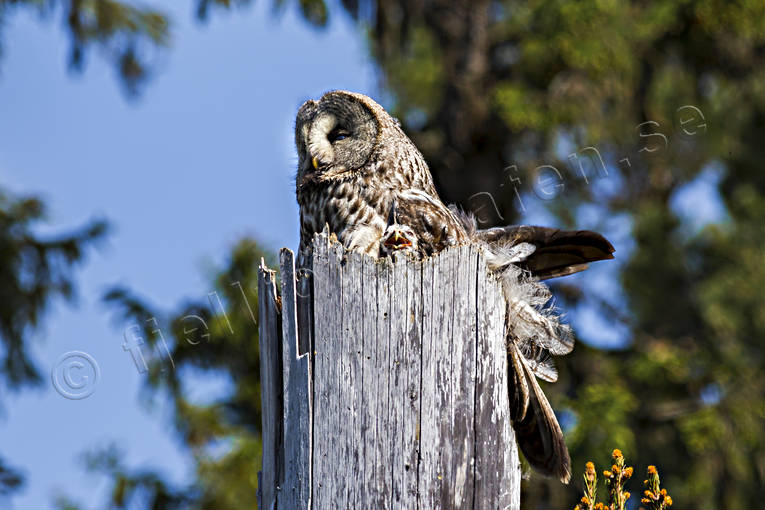 animals, bird, birds, Great Grey Owl, lappuggla, owl, owls, Strix nebulosa, young owls