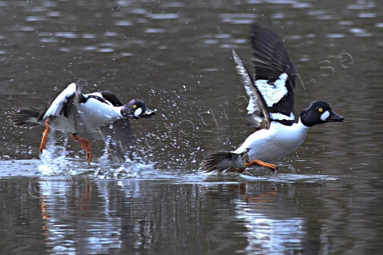 animals, bird, birds, common goldeneye, common goldeneyes, duck, ducks, dykand dykänder, kniphane, male ducks, spring