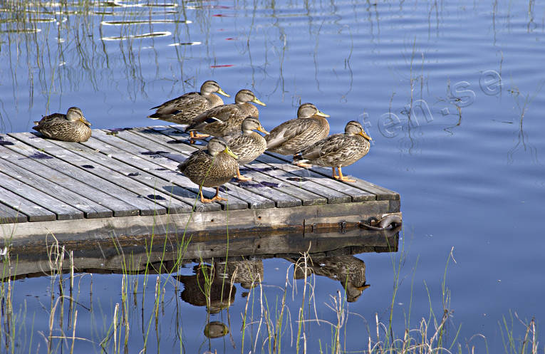 animals, birds, bridge, duck, ducks, mallards, mallards