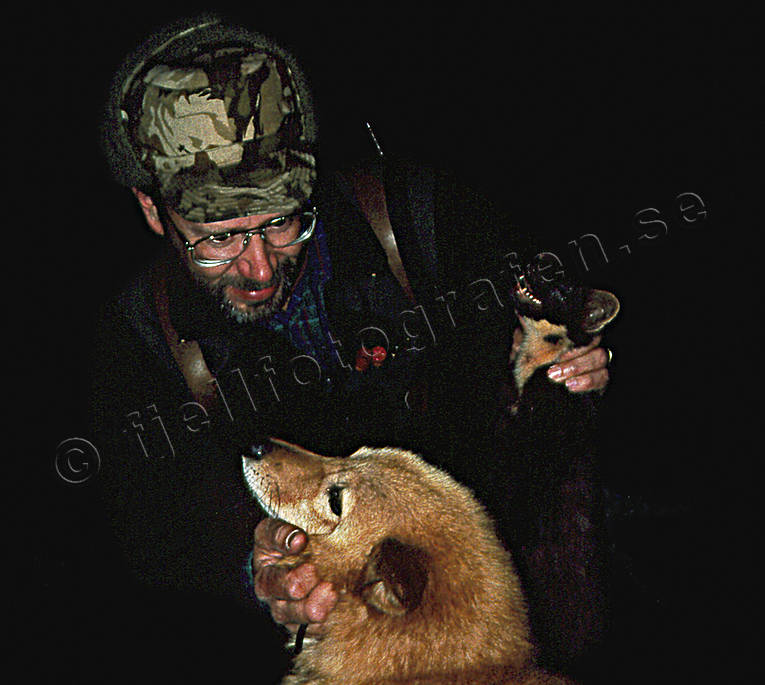 finnish spitz, hunting, marten hunt, marten hunter, night hunt, pine marten