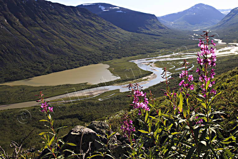flower, flowers, landscapes, Lapland, mjölkört, nature, plant, plants, herbs, Rapa Valley, Rapaselet, rosebay willowherb, Sarek, Sarek nationalpark, Sarekfjäll, summer