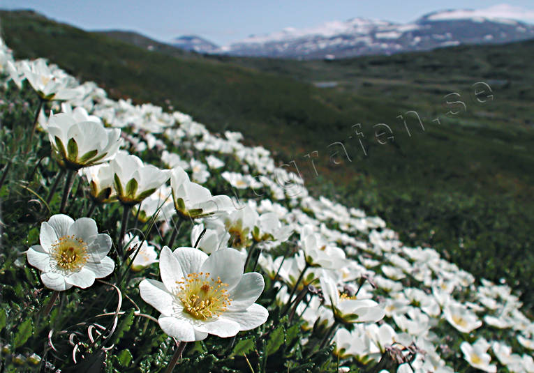 alpine flowers, biotope, biotopes, flowers, mountain, mountain avens, white dryad, mountains, nature, Padjelanta, plants, herbs