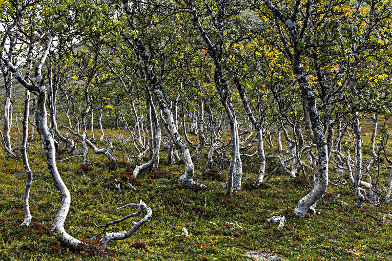 alpine birch, alpine landscape, autumn, downy birches, Jamtland, landscapes, mountain, mountain birch forest, nature
