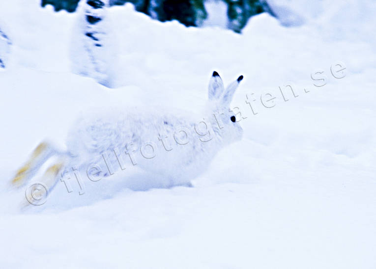 animals, burrow, burrowing, days rest, escape, flykt, hare, harvärja, lega, mammals, mountain hare, run, runs, skutta, snow, snölega, swedish hare, white, winter