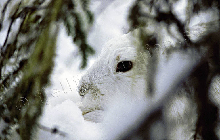 animals, burrow, burrowing, camouflage, gnawer, hare, hare, hide, mammals, mountain hare, winter