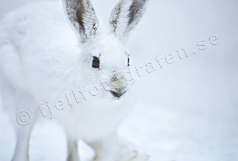 animals, close-up, hare, hare, hopping, lolloping, mammals, mountain hare, snow, swedish hare, winter