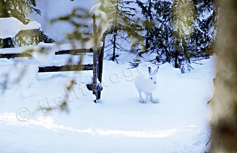 animals, gate gap, gate gap, hare, hare, mammals, mountain hare, swedish hare