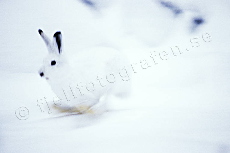 animals, camouflage, gnawer, hare, hare, hopping, lolloping, leap, mammals, mountain hare, runs, snow, winter