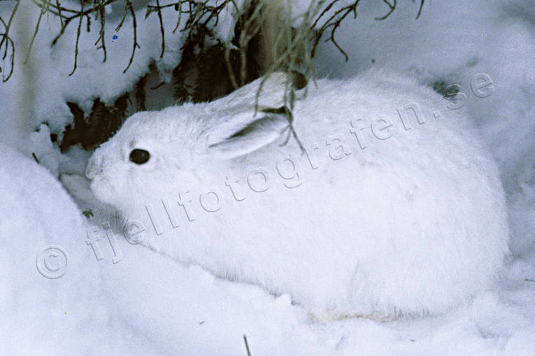 animals, burrow, burrowing, camo, camo color, camouflage, camouflage, camouflage color, days rest, fur, hare, lega, mammals, mountain hare, snow, white, winter fur