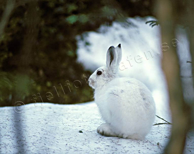animals, hare, hare, mammals, mountain hare, snow, winter, woodland
