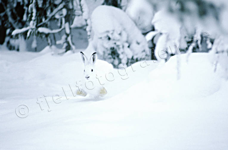 animals, gnawer, hare, hare, hare, hopping, lolloping, mammals, mountain hare, runs, snow, white, winter