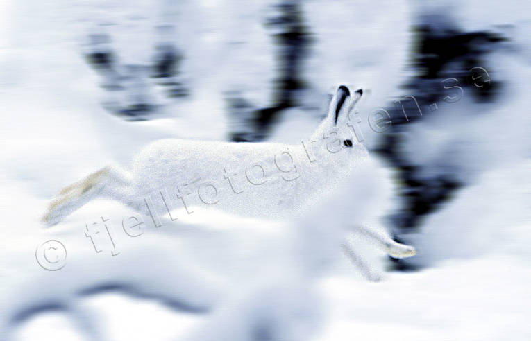 animals, gnawer, hare, hare, hopping, lolloping, mammals, mountain hare, runs, runs, snow, swedish hare, white, winter