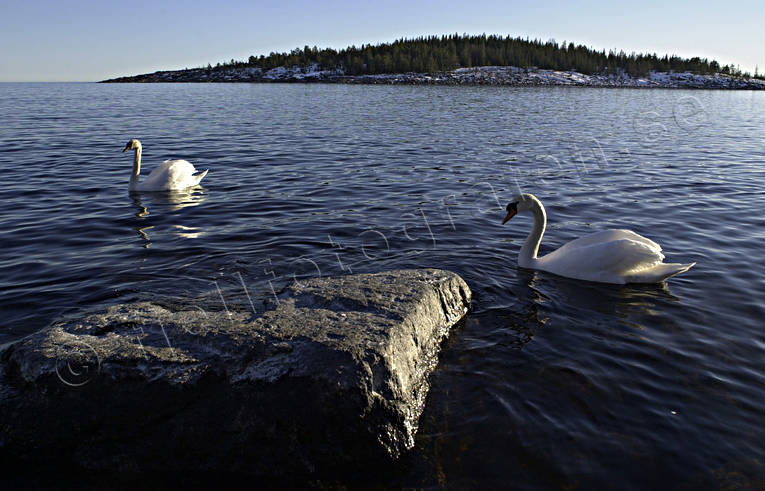 animals, birds, Fallvik, höga kusten, mute swan, swan, swans, winter