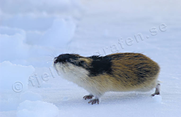 animals, gnawer, lemming, mammals, norway lemming, rodents, snow, winter