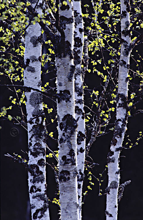 ambience, ambience pictures, atmosphere, birch, birch leaf, birch trunks, birches, foliation, leaf, season, seasons, slender, spring, trunks
